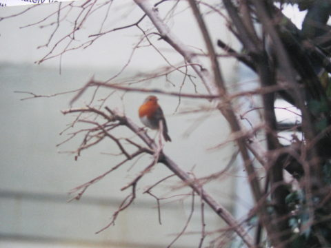 Copyright Colin Pierpoint. Robin, seen from the office window.